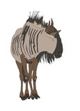 Blue Wildebeest common wildebeest from front. Digitally hand drawn Illustration isolated on white background Royalty Free Stock Photos