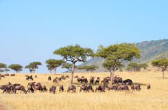 Blue wildebeest (Connochaetes taurinus) Royalty Free Stock Image