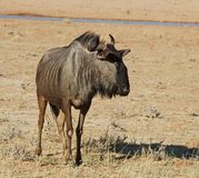 Blue wildebeest (Connochaetes taurinus). In the Kgalagadi Transfrontier Park, Kalahari desert, Southern Africa stock photos