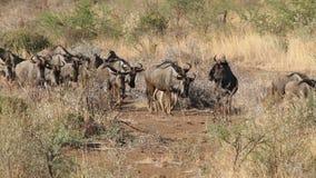 Blue wildebeest stock video