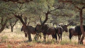 Blue wildebeest stock video footage