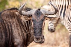 Blue Wildebeest (Connochaetes taurinus). The Blue Wildebeest (Connochaetes taurinus), also called the Common Wildebeest, is a large antelope and one of two Stock Images