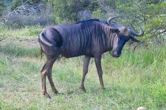Blue wildebeest (Connochaetes taurinus) Royalty Free Stock Photo