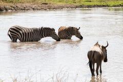Blue wildebeest and zebras drinking water. Blue wildebeest Connochaetes taurinus, also called the common wildebeest, white-bearded wildebeest or brindled gnu Stock Photos
