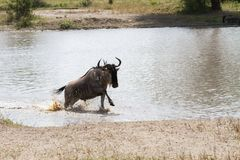 Blue wildebeest Connochaetes taurinus running in the water. The blue wildebeest Connochaetes taurinus, also called the common wildebeest, white-bearded Royalty Free Stock Photography
