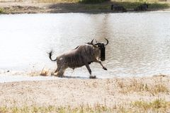 Blue wildebeest Connochaetes taurinus running in the water. The blue wildebeest Connochaetes taurinus, also called the common wildebeest, white-bearded Royalty Free Stock Photo