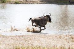 Blue wildebeest Connochaetes taurinus running in the water. The blue wildebeest Connochaetes taurinus, also called the common wildebeest, white-bearded Stock Images