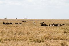 Blue wildebeests Connochaetes taurinus and zebras stock images