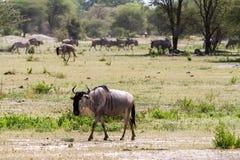 Blue wildebeest Connochaetes taurinus in Tarangire National Park, Tanzania. The blue wildebeest Connochaetes taurinus, also called the common wildebeest, white Stock Photos