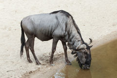 Blue wildebeest Connochaetes taurinus Stock Photography
