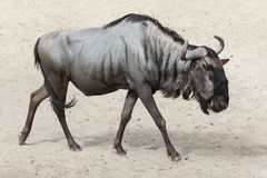 Blue wildebeest Connochaetes taurinus Royalty Free Stock Images