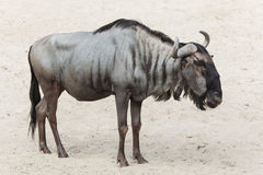 Blue wildebeest Connochaetes taurinus Stock Photo