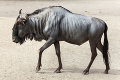 Blue wildebeest Connochaetes taurinus Stock Photos