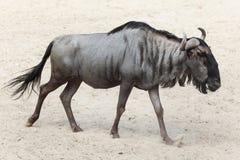 Blue wildebeest Connochaetes taurinus Stock Photos