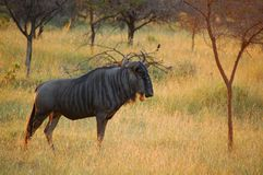 Blue wildebeest (Connochaetes taurinus) Royalty Free Stock Photography