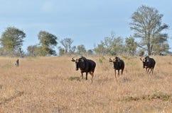 Blue wildebeest (Connochaetes taurinus) Royalty Free Stock Image