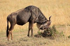 Blue wildebeest Royalty Free Stock Photo
