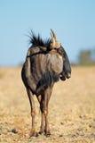 Blue wildebeest Royalty Free Stock Image