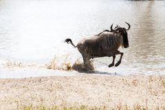 Blue wildebeest Connochaetes taurinus running in the water. The blue wildebeest Connochaetes taurinus, also called the common wildebeest, white-bearded Stock Photo