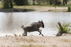 Blue wildebeest Connochaetes taurinus running in the water. The blue wildebeest Connochaetes taurinus, also called the common wildebeest, white-bearded Royalty Free Stock Photos