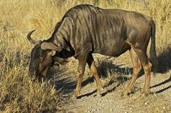 Blue Wildebeest Stock Photo