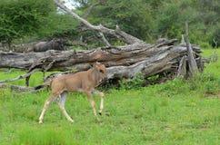 Blue wildebeest (Connochaetes taurinus) Stock Photos