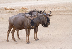 Blue Wildebeest couple in the Kalahari. A pair of Blue Wildebeest in the Kgalagadi Transfrontier Park, South Africa stock photography
