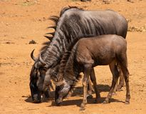 Blue Wildebeest cow and calf royalty free stock photography