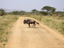 Blue Wildebeest Crossing The Road Royalty Free Stock Images