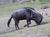 Blue wildebeest digging Royalty Free Stock Image