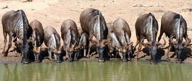 Blue Wildebeest drinking,. Mkuze Game Rserve royalty free stock photo