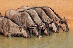 Blue wildebeest drinking Stock Image
