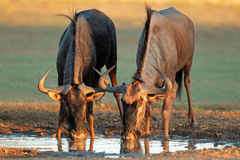Blue wildebeest drinking Royalty Free Stock Photos