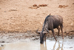 Blue Wildebeest drinking Royalty Free Stock Images