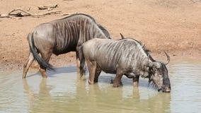 Blue wildebeest drinking stock footage