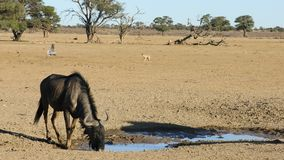Blue wildebeest drinking water stock video