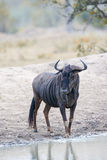 Blue wildebeest drinking from water hole Royalty Free Stock Photo