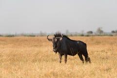 Blue wildebeest in dry grass. Adult Blue Wildebeest Connochaetes taurinus standing alone in dry Savuti Marsh grassland, Botswana, 2015 stock photos