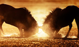 Blue wildebeest dual in dust. Kalahari desert - South Africa Stock Image