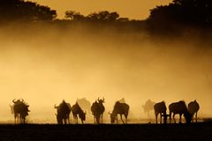 Blue wildebeest in dust Stock Photos