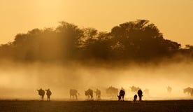 Blue wildebeest in dust Stock Image