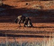 Blue wildebeest dust bath Stock Photo
