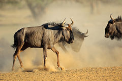 Blue wildebeest in dust Royalty Free Stock Images