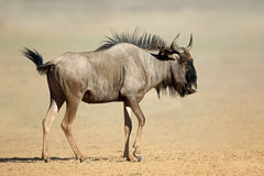 Blue wildebeest in dust Stock Photography