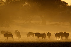 Blue wildebeest in dust Royalty Free Stock Photos
