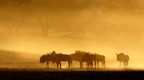 Blue wildebeest in dust Stock Image