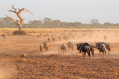 Blue wildebeest in dust Royalty Free Stock Photography