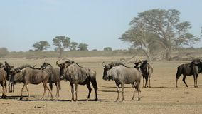 Blue wildebeest in dust stock video