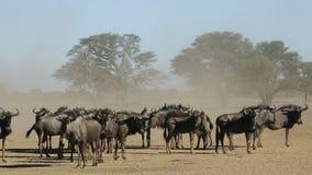 Blue wildebeest in dust stock footage