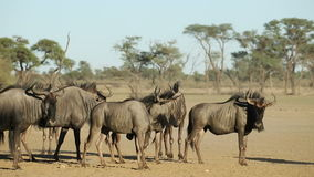 Blue wildebeest in dust stock footage